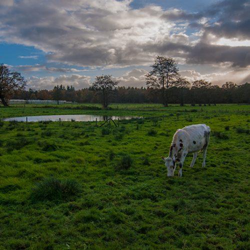 Wanderlust, autumn, bjornmassuger.nl, blauwe lucht, cow, ditistilburg, dwalen, herfst, hownow, koe, koeien, landschap, sunday walk, weiland, wolken